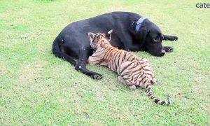 Собака стала матерью для тигренка