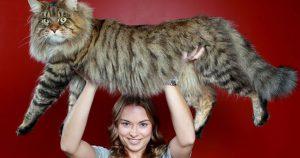 Мейн-Куны: Фото самых больших и очень дружелюбных домашних кошек