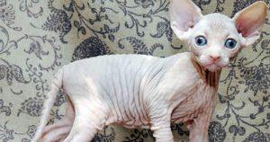 Взял я как-то себе кота. Не спрашивайте зачем и почему. Лысого. Годовалого. С бейцим и гордым именем Герман…
