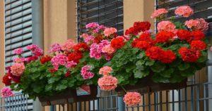 Самый простой рецепт эликсира для пышного цветения герани