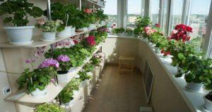 Шикарный цветник дома — это реальность! Секрет – в подкормке! Полезные советы.