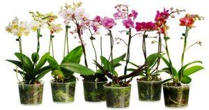 Чеснок станет спасением для ваших орхидей! Уже через несколько недель она расцветет