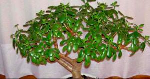 Если у вас растет денежное дерево — узнайте, что это за чудо-растение!