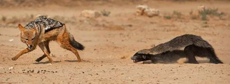 Два самых свирепых зверя — с которыми не рискуют связываться ни тигры, ни львы