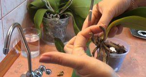 Отличный способ реанимации орхидеи! И столько цветков потом на 1 ветке!