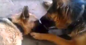 Пес целует свою подругу после сложных родов