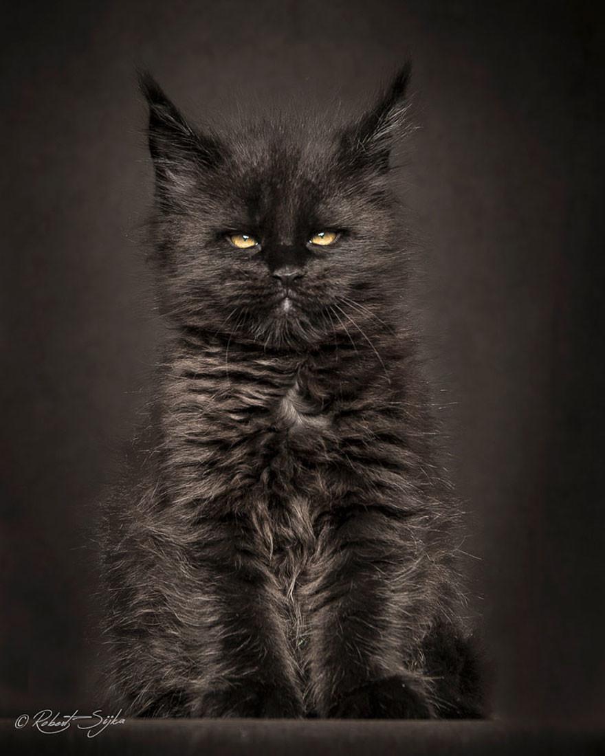 Мэйкуны — фантастические коты. Словно лев в миниатюре!