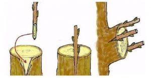 Дедовский способ прививки деревьев для большого урожая!
