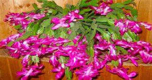 Ноябрь — пора подкармливать декабрист. 5 лучших средств для пышного цветения