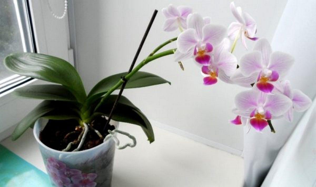 Если у вас растёт одна орхидея, можно превратить её в 100