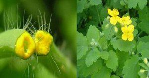 Чистотел — это растение настоящий ″подарок небес″