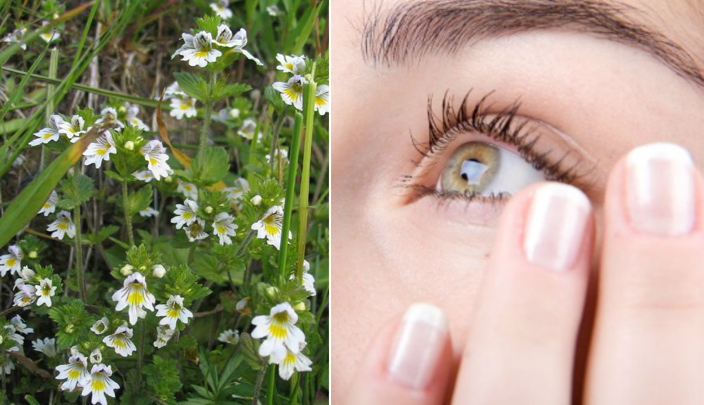 Очанка — спасительница зрения и памяти! Если не лениться и правильно лечиться, то заменяет окулиста и других врачей