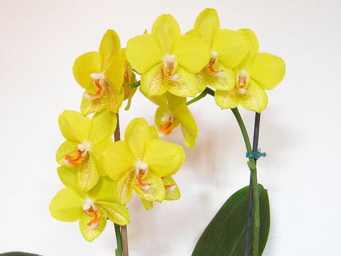Ваша орхидея будет цвести круглый год. 7 важных секретов по уходу за орхидеями