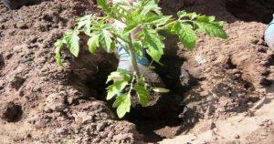 Что нужно класть в лунку при посадке помидоров? Очень полезные советы