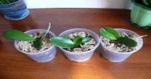 Эффективный способ разведения орхидей. Советы от опытного флориста