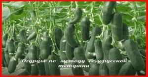 Посадка огурцов по белорусскому методу моей тёти. Урожай отличный