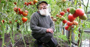 Дедовский способ для выращивания вкусных томатов
