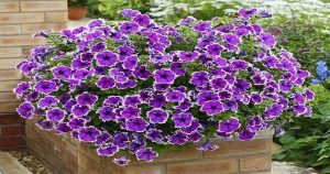 5 хитростей от заядлых садоводов для красивого цветения петунии