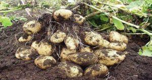 Китайский метод посадки картофеля, который обеспечивает отличную урожайность