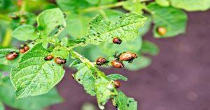 Как избавиться от колорадского жука без химии? 4 способа