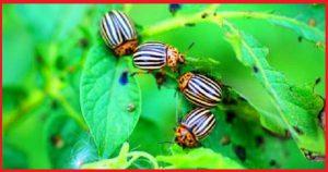 Проверенный способ, который поможет навсегда избавиться от колорадского жука