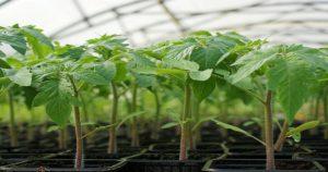 Как получить крепкую и здоровую рассаду помидор
