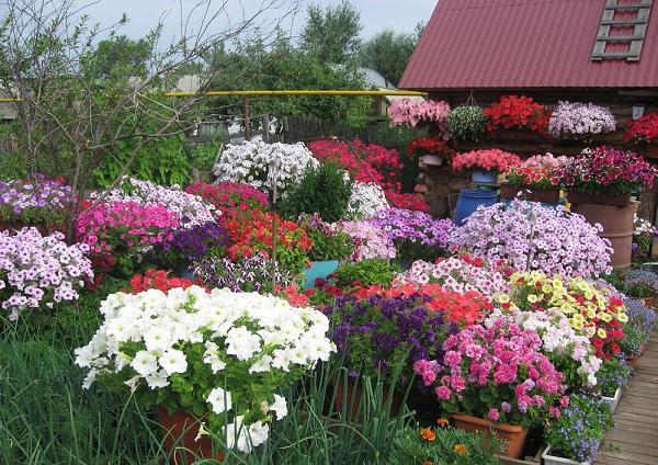 Пять секретов от опытных садоводов для обильного цветения петунии