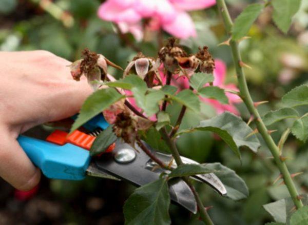 Как правильно обрезать кусты роз весной, чтобы они не отцветали все лето