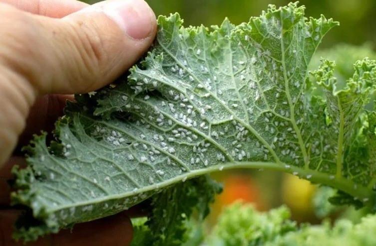 Этот рецепт с водкой спасает мой сад от тли