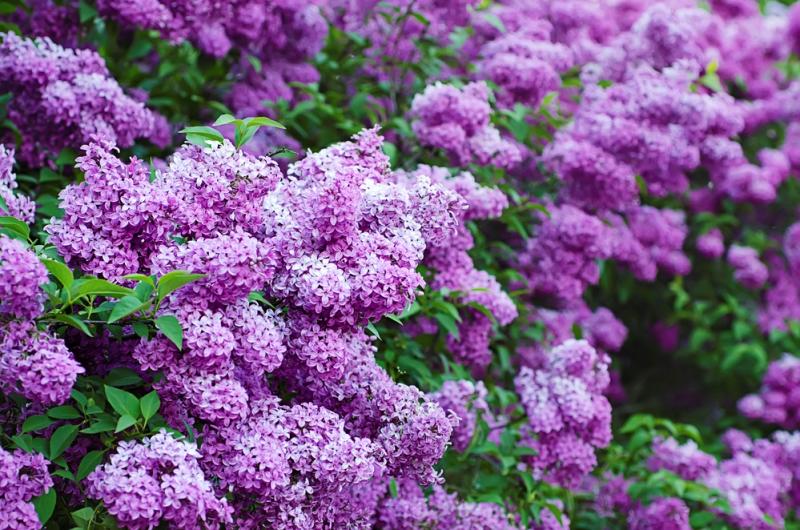 Засыпь цветы сирени в банку и залей растительным маслом