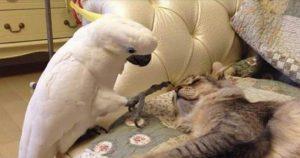 Попугай, что бы жить в квартире с котами, научился «разговаривать» по-кошачьи