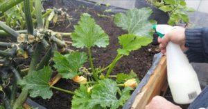 Этот рецепт с водкой спасет сад от тли