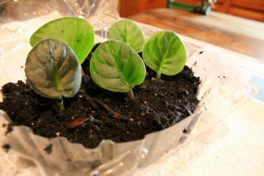 5 полезных секретов для успешного выращивания фиалок