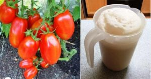 Раствор на дрожжах — подкормка и спасение ваших огурцов и помидоров от болезней
