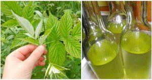 Настойка листьев малины лечит нервные срывы и болезни сердца